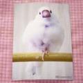 ポストカード「白文鳥3」(DGY0032)
