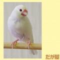 ポストカード「白文鳥1」(DGY0029)