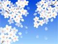 No597 満開の桜