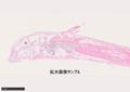No.40: インペリアルゼブラプレコHE染色標本(矢状断スライド)