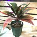 【希少種】ティーリーフの木 Ti Plant 'Monte Christo'  5号ロングスリット鉢(オレンジ葉品種)