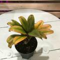 【希少種・1点モノ】珍しいオレンジイエロー葉! ティーリーフの木 Ti Plant 'Dr Minaii'  4号ロングスリット鉢