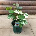 【ハワイの街路樹】ハウ・トリカラー Hau Tricolor 5号スリット鉢