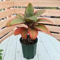 【希少種・2鉢限定】ティーリーフの木 Ti Plant 'Circus'  5号ロングスリット鉢(オレンジ葉品種)