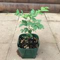 【生でしか使えない貴重な香辛料】カレーの木(カレーリーフ) 4号角スリット鉢・エスニック料理の香辛料として使えます