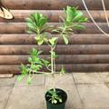 ビーチナウパカ Beach Naupaka 5号スリット鉢(ハワイの神話に登場する植物)