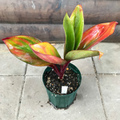 【希少種・1点モノ】ティーリーフの木 Ti Plant 'Tutu Elena'  4号ロングスリット鉢