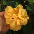 【日本初上陸・希少種】美しい黄色の大輪八重咲き! ハイビスカス 'Raffles Yellow'  3.5号ポット苗