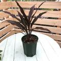 【希少種・1点モノ】ティーリーフの木 Ti Plant 'Amonra'  5号ロングスリット鉢(黒葉品種)