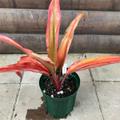 【希少種・1点モノ】ティーリーフの木 Ti Plant 'Peter Buck'  4号ロングスリット鉢