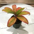 【希少種・1点モノ】珍しいオレンジ葉! ティーリーフの木 Ti Plant 'Circus'  4号ロングスリット鉢