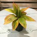 【希少種・1点モノ】珍しいオレンジ葉! ティーリーフの木 Ti Plant 'Sharon Peterson'  5号ロングスリット鉢(希少なオレンジ葉の広葉系ハワイ品種)