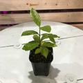 【希少種】ハワイ固有種のハワイアンガーデニア・ナーヌ Nanu  3.5号ロングスリット鉢