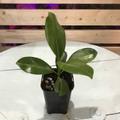 【1点モノ】ハワイ固有の希少種・プアケニケニ Pua Keni Keni  3.5号ロングスリット鉢