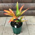 【希少種・1点モノ】ティーリーフの木 Ti Plant 'Orange Streak'  4号ロングスリット鉢