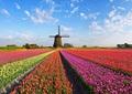 A3サイズ square r100 オランダのチューリップ畑