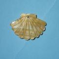 486 白蝶 貝型