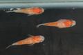 (現物販売)甲州紅白ダルマ系メダカ 1雄2雌 D