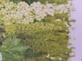 白三尺ぶどう(巨大房ブドウネヘレスコール)
