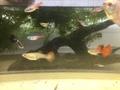 ミックスグッピー10匹稚魚