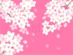 No598 満開の桜 ピンク