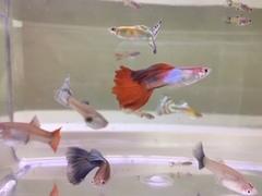 ミックスグッピー5匹成魚 雌2 雄3