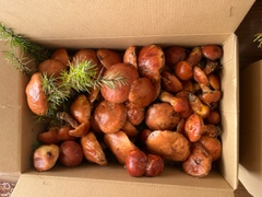 北海道天然物 落葉キノコ