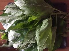 菊芋の葉スーパーフード無農薬