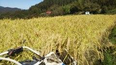 自然栽培(無肥料無農薬)天日干しもち米(白毛モチ)玄米1㎏