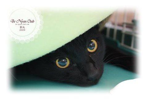 保護猫ポストカード06【影丸】a