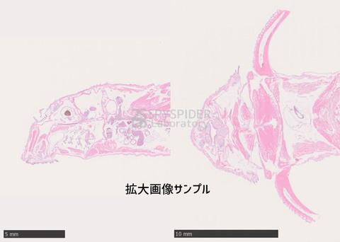 No.42: HE染色標本セット(矢状断&水平断)〜インペリアルゼブラプレコ編〜