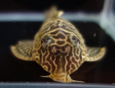 No.13: L399 / 400 ワイルド キングダップルドプレコ♀ 9.5cm 抱卵中