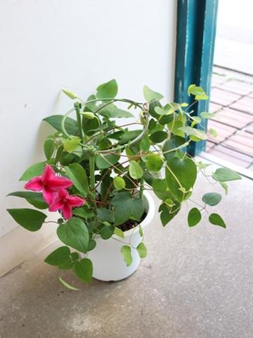 『母の日』鉢物 クレマチス
