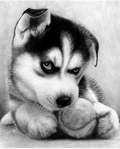 【1-142】ボールで遊ぶ仔犬のハスキー