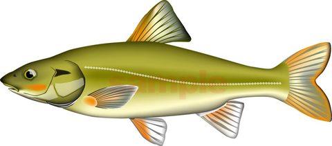 淡水魚 エゾウグイ ベクターAI形式