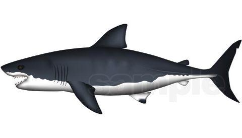 ホオジロザメ  イラスト ベクターAdobe AI形式