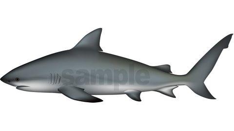 サメ(オオメジロザメ)イラスト ベクターAI形式/png形式(選択可)