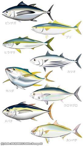 黒潮セット 魚イラスト画像8点セット jpg形式 (RGB)