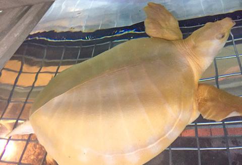 極美!スッポンモドキ アルビノ  甲長約30cm