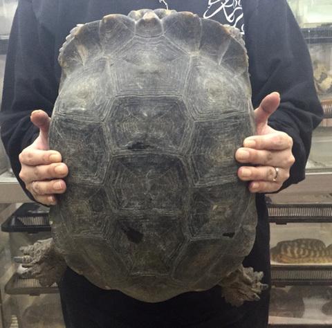 エミスムツアシガメ 36cm♂