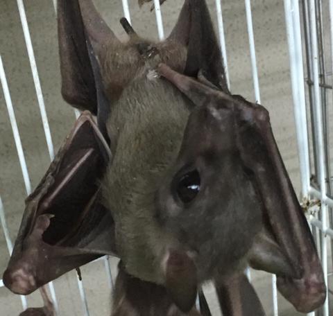 デマレルーセットオオコウモリ