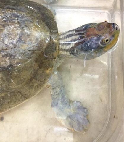 ニシキセタカガメ 飼い込み 約29cm♂