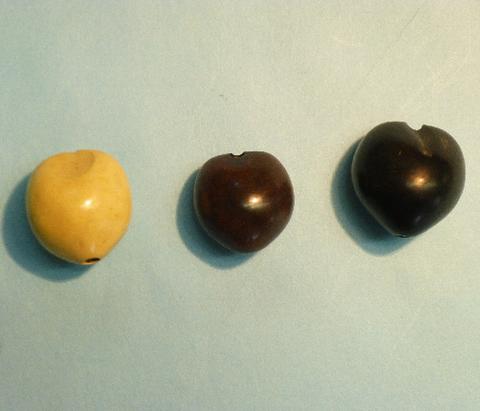 ククイナッツ 白、黒、茶