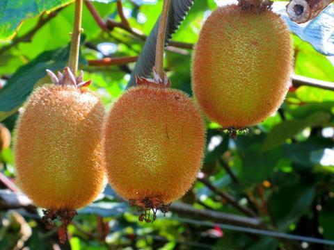 キウイフルーツ 25個/岐阜県産/平成30年産栽培期間中、化学農薬不使用・化学肥料不使用