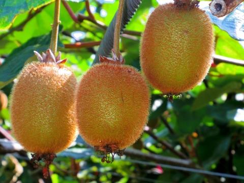 キウイフルーツ 10個/岐阜県産/2020年産栽培期間中、化学農薬不使用・化学肥料不使用