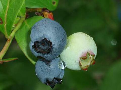ブルーベリー/約100gパック/岐阜県産/ 栽培開始以来、化学農薬不使用・化学肥料不使用、草性栽培ブルーベリーです。