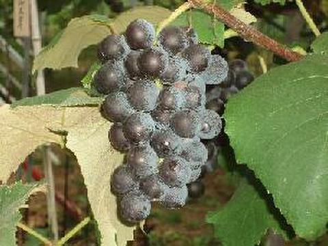 早生キャンベル(大粒) 約1.5kg 葡萄 (栽培開始以来、化学肥料不使用、除草剤不使用、化学農薬削減 当地比5割削減) 岐阜県産