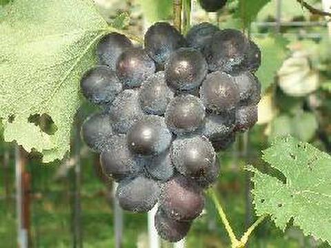 高墨 約1.5kg 葡萄 (栽培開始以来、化学肥料不使用、除草剤不使用、化学農薬削減 当地比5割削減) 岐阜県産