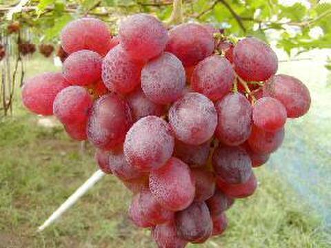 ロザリオロッソ 約1.5kg 葡萄 (栽培開始以来、化学肥料不使用、除草剤不使用、化学農薬削減 当地比5割削減) 岐阜県産