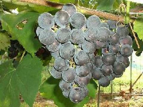 バッファロー 約1.5kg 葡萄 (栽培開始以来、化学肥料不使用、除草剤不使用、化学農薬削減 当地比5割削減) 岐阜県産